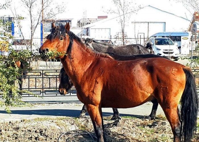 Владельцев бродивших по Атырау лошадей оштрафовали, фото-1