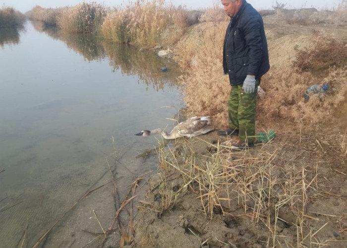 В Атырау спасли лебедя (фото), фото-2