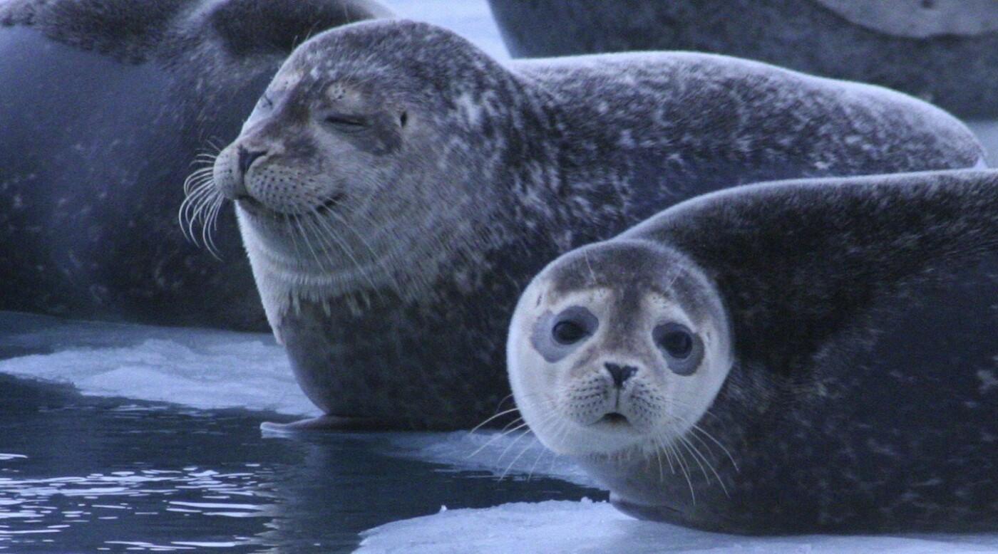 Казахстанские учёные смогут со спутника отследить пути миграции тюленей на Каспии, фото-3