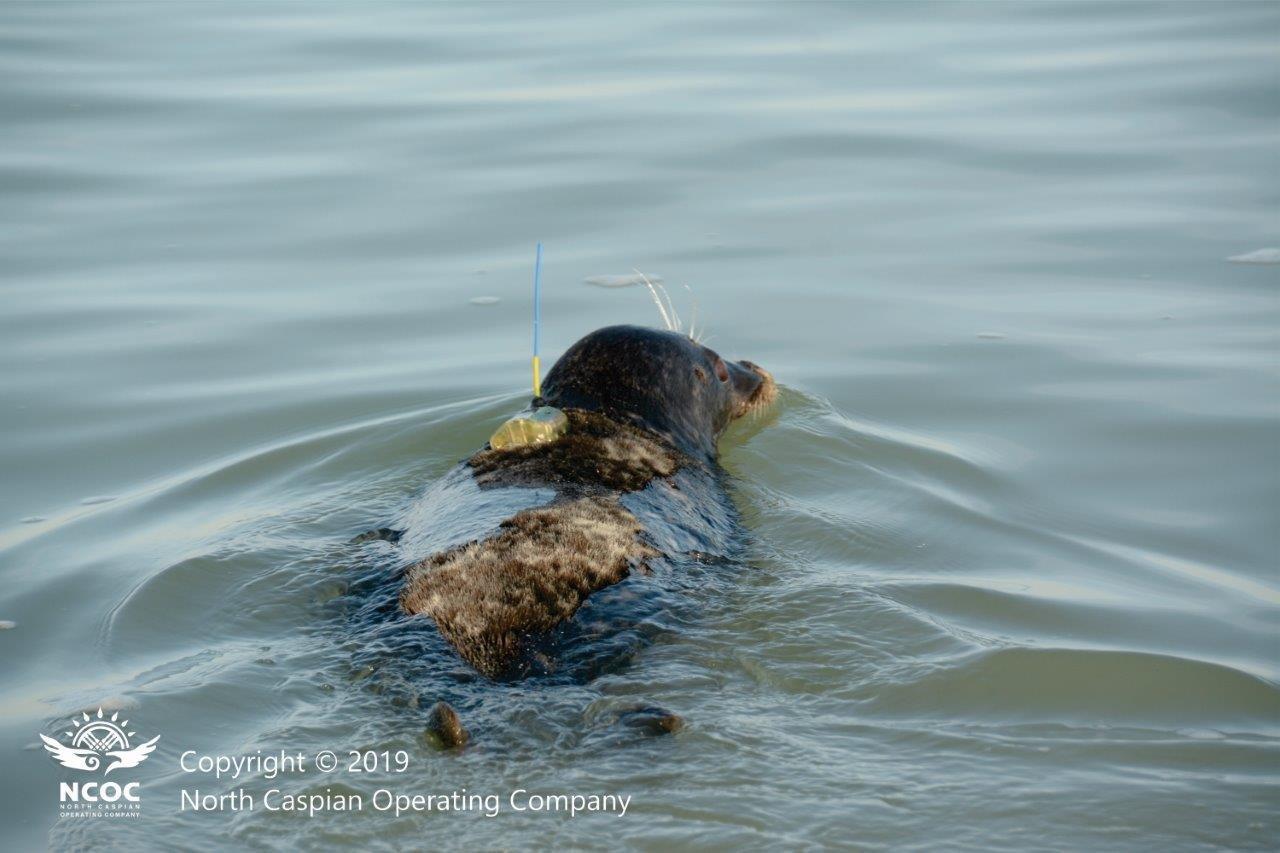 Казахстанские учёные смогут со спутника отследить пути миграции тюленей на Каспии, фото-1