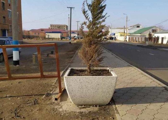 Желтизну вечнозелёных деревьев объяснили холодами власти Макатского района, фото-1, @facebook.com/Серик Халменов