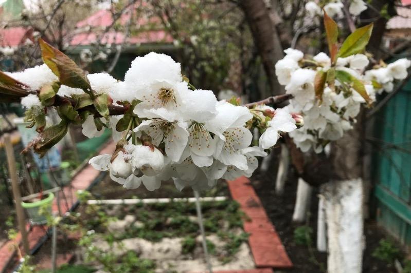 Цветущие плодовые деревья в Атырау покрылись снегом, фото-1