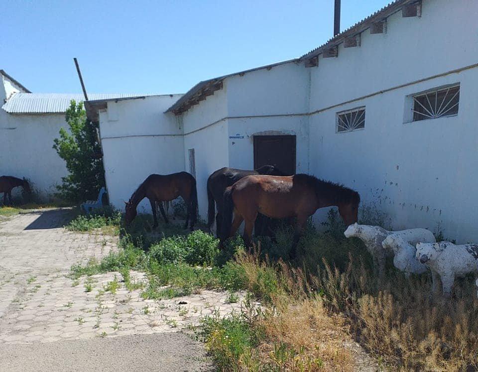 В Атырау ищут владельца пасущихся на аэропортовой трассе лошадей, фото-2, Акимат Атырау
