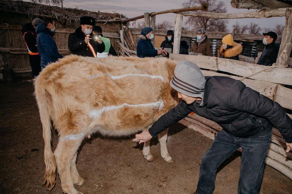 Домашний скот снабдят светоотражающими лентами в Атырауской области, фото-3